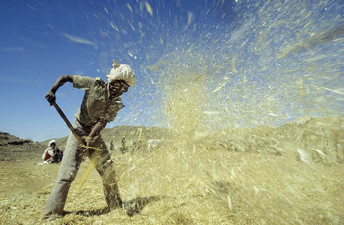 Eritrea Harvest :: January 1993 copyright Tearfund